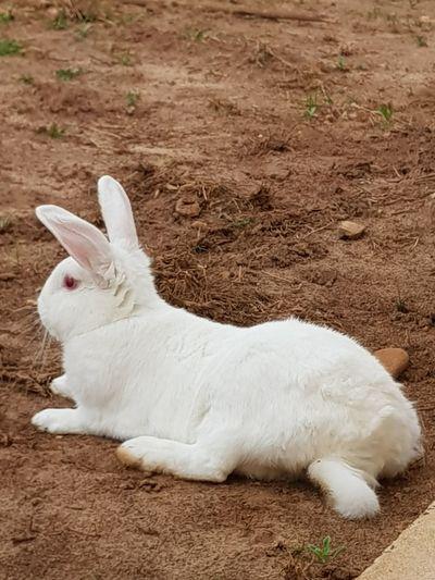 #mynameisGuinho #rabbit relaxing #AvaréBrazil #Grandma's house # meunomeéGuinho #coelho relaxante #AvaréBrasil #casadavovó Pets Lying Down Cute White Color Close-up Grass