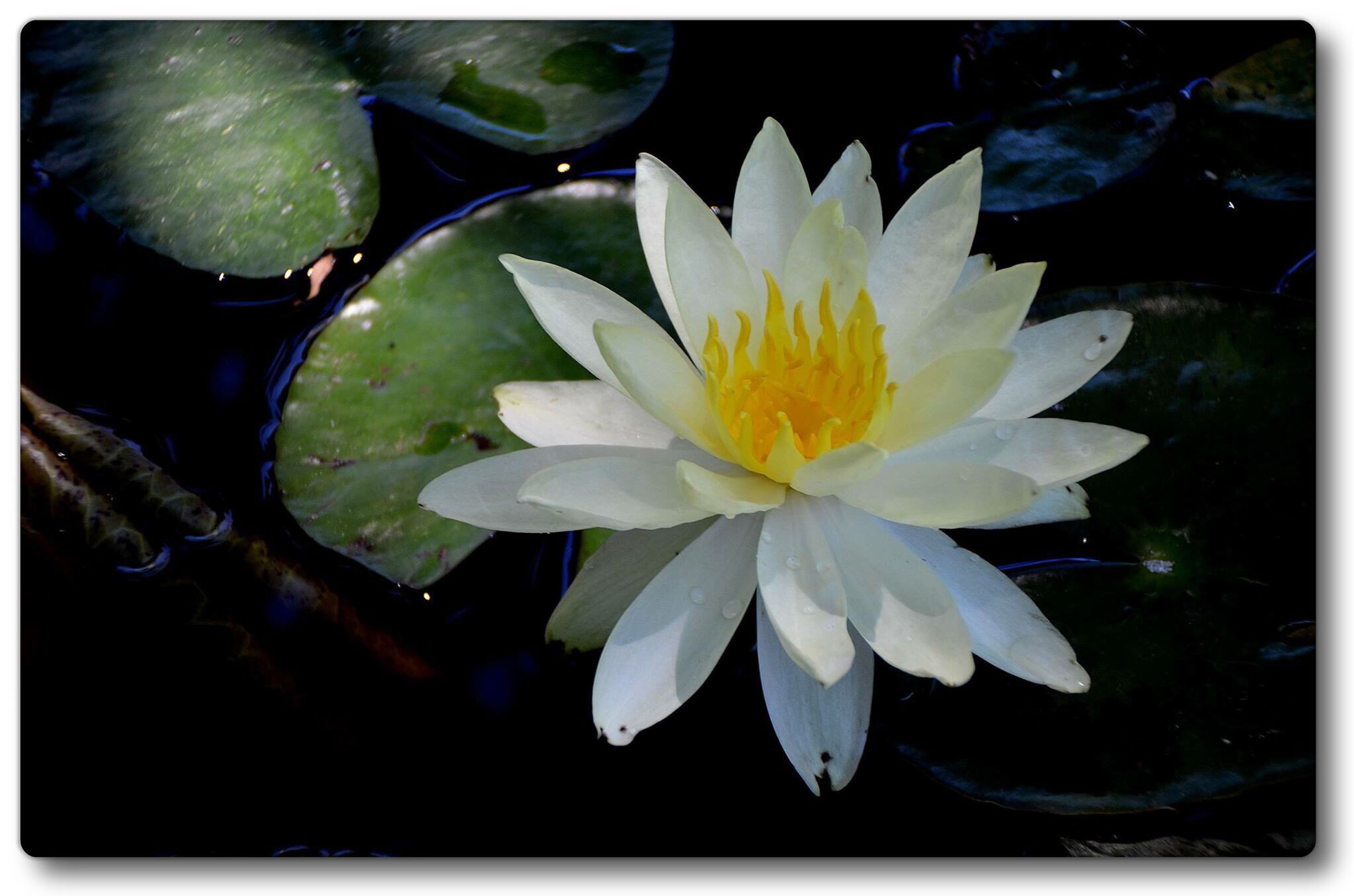 flower, water lily, pond, petal, water, floating on water, freshness, flower head, fragility, transfer print, lotus water lily, leaf, high angle view, beauty in nature, lake, nature, growth, single flower, plant, white color
