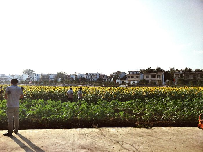 该吃饭哼 No People Agriculture Wine Winemaking Grape Outdoors Day Rural Scene Vine - Plant Sky First Eyeem Photo