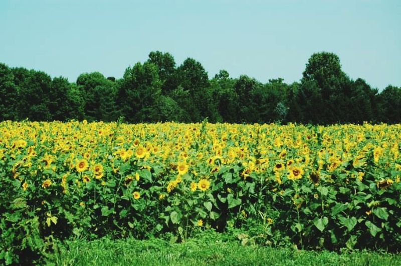 Scenic view of yellow flowers growing on field