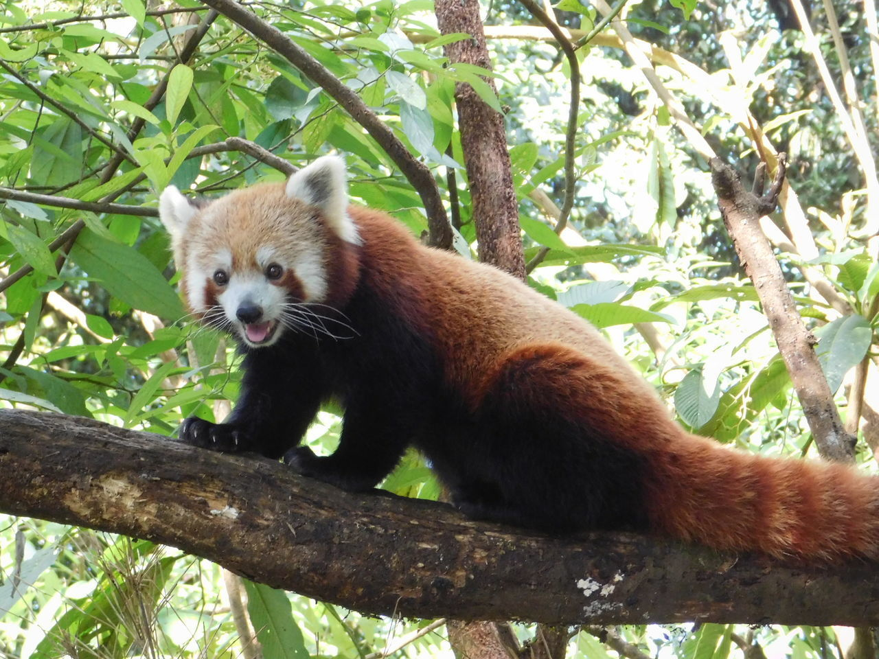 tree, animal wildlife, animal themes, one animal, red panda, animal, animals in the wild, plant, branch, mammal, panda - animal, nature, vertebrate, no people, day, looking away, focus on foreground, outdoors, looking, forest, whisker