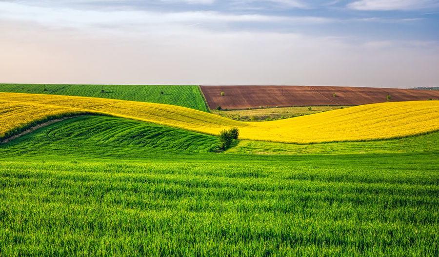 Agricultural fields Agriculture Beauty In Nature Cereal Plant Crop  Cultivated Day Farm Field Grass Green Color Growth Landscape Nature No People Outdoors Rural Scene Saturated Color Scenics Sky Tranquil Scene Wheat Yellow