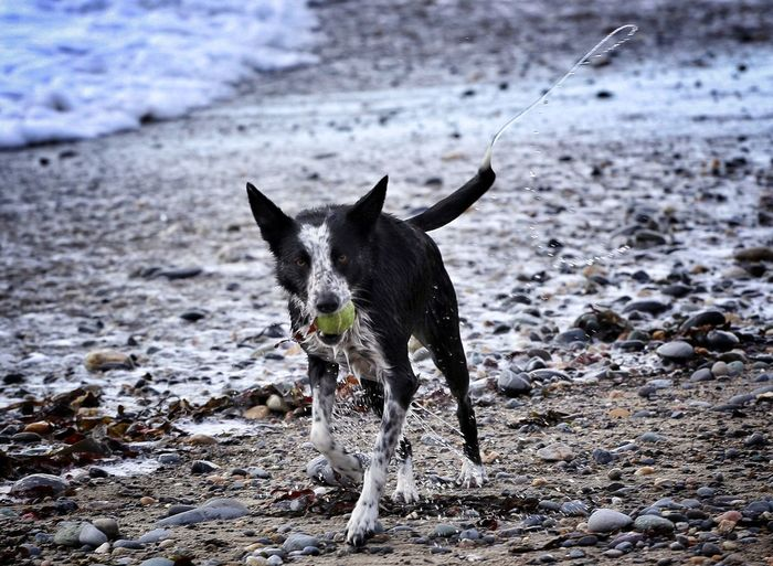 Wet dog carrying ball in mouth and running on beach