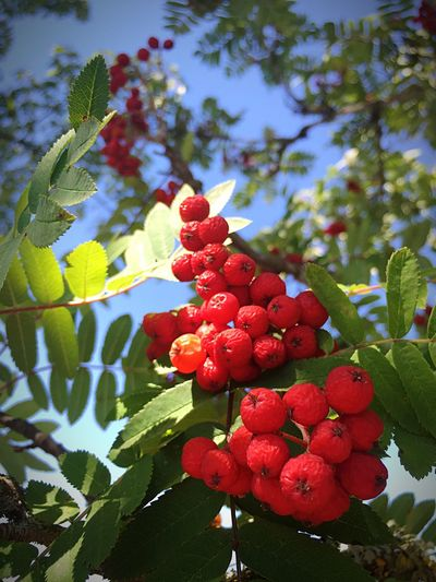 Red Berries Red Berry Bushes Amazing Lighting Very Little Editing Beauty In Ordinary Things Just Have To Look Perspective Photography Home Is Where The Art Is Colour Of Life Close Up Macro Photography Macro Good Lighting  Leaves And Sky Berries