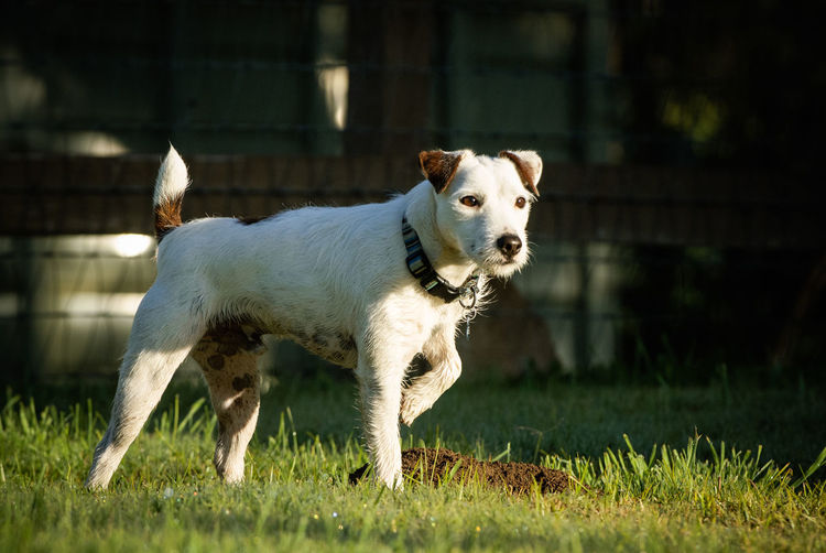 Jack Russell Terrier dog outdoor portrait Farm Jack Russell Jack Russell Terrier Ranch Animal Animal Themes Canine Day Dog Domestic Animals Grass Looking No People One Animal Pets Pointing Standing Terrier