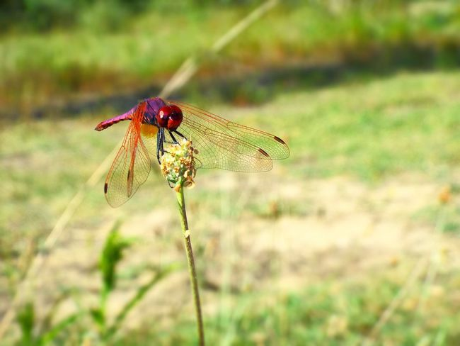Dragonfly Dragonfly On Flower Libellula Dragonfly Nature Insects Nature Photography Natura Red Dragonfly Insect Insetto Flower Fiore Nature_collection EyeEm Gallery EyeEm Best Shots EyeEm Best Edits EyeEm Nature Lover Animals In The Wild Animal Animal Photography Animale Hello World Beauty In Nature Capture The Moment On The Flower Love Animals