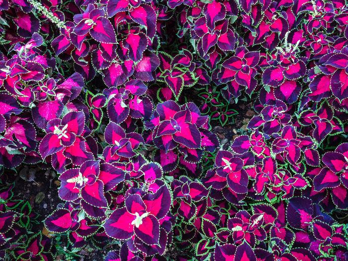 Background Beautiful Botanical Botany Close Coleus Blumei Color Colorful Decorative Floral Foliage Garden Green Leaf Multicolored Natural Nettle Pink Purple Red Texture Vibrant Vivid