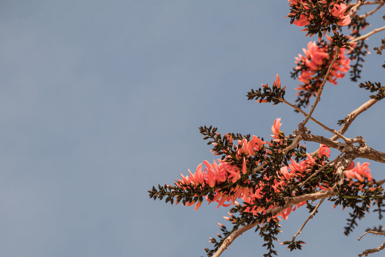 Low angle view of pink flowering tree against clear sky