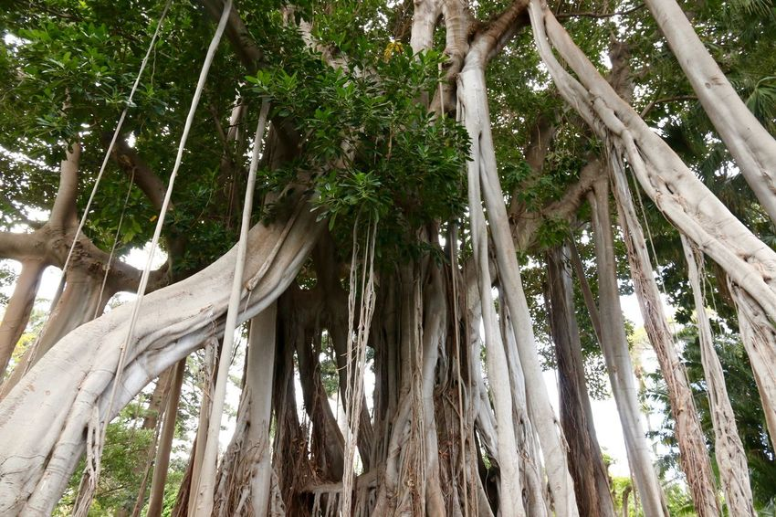 Air Roots Beauty In Nature Botanical Gardens Day Forest Green Color Growth Low Angle View Luftwurzel Nature Outdoors Root Roots Tall - High Tree Tree Trunk Wood - Material WoodLand Wurzel Wurzeln Carnival Crowds And Details