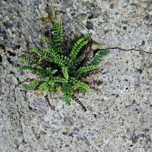 Fern Farn Wall Flower Wall Feature Nature Finds A Way Mauerblümchen Nature Photography