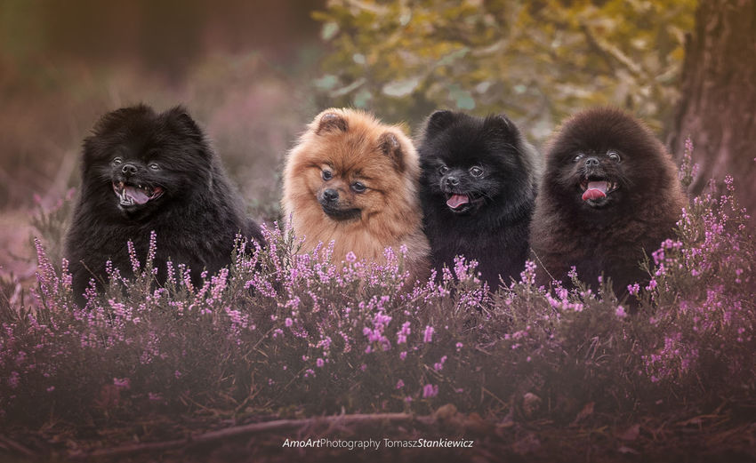 Gremilins :) Love Pomeranian Animal Family Animal Wildlife Animals In The Wild Beauty In Nature Beautyful  Day Flower Flowering Plant Focus On Foreground Group Of Animals Mammal Nature No People Outdoors Plant Primate Puppy Purple Vertebrate Young Animal EyeEmNewHere A New Beginning