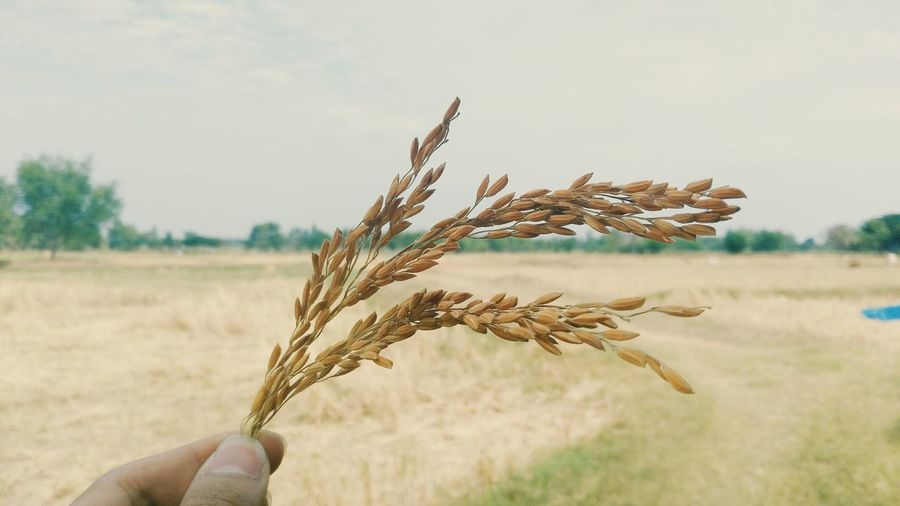rice Nature Day Food Plant Cereal Plant First Eyeem Photo Thailand