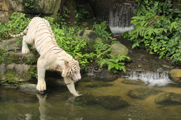 Singapore Singapore Zoological Garden Singapore Zoo White Tiger Wildlife Photography Zoo Animal Animal Wildlife Mammal Rock - Object SingaporeZoo Stream - Flowing Water Tiger Water Waterfall Wildlife Wildlife Reserves Singapore Wildlifephotography Zoo Animals  Zoophotography