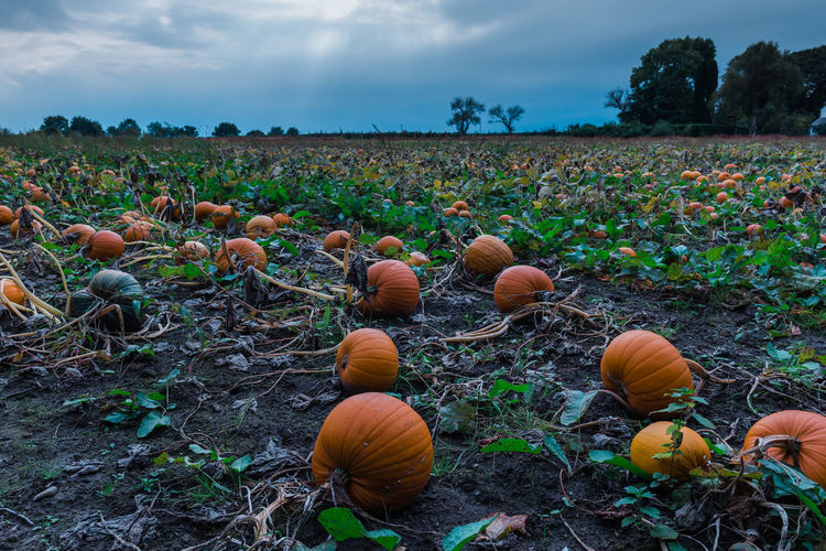 Halloween Pumpkins Beauty In Nature Close-up Cloud - Sky Day Field Food Freshness Growth Landscape Nature No People Outdoors Plant Pumpkin Rural Scene Sky Tranquility Tree