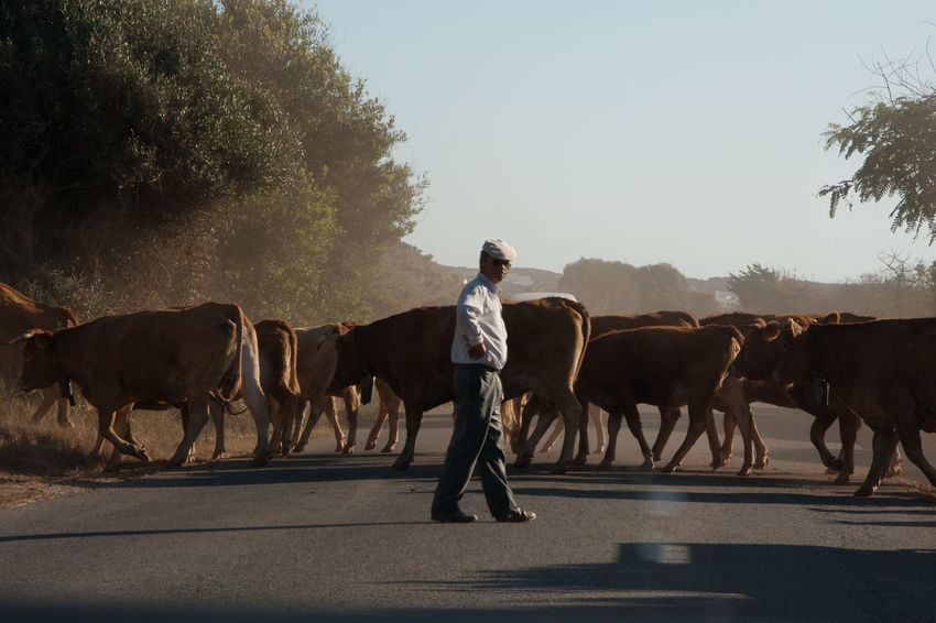 Cattle Clear Sky Cow Day Domestic Animals Farm Animal Full Length Herbivorous Large Group Of Animals Livestock Mammal Men Nature One Person Outdoors People Real People Road Sky Standing EyeEmNewHere