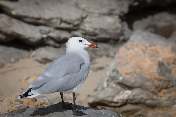 Mallorca Seagull Bird Animals In The Wild Animal Themes Animal Wildlife Animal Vertebrate One Animal Seagull Solid Rock Day Rock - Object Perching Focus On Foreground Full Length Nature No People Outdoors Close-up Sea Bird
