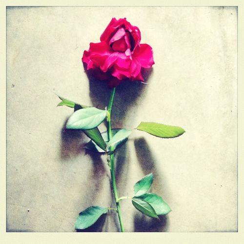 Tu Eres Hermosa Y Te mereces Algo A Tu Nivel <3 Una Rosa <3.<3