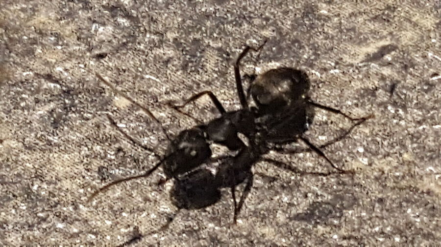 Pesky Little Bug Insect Ant Bug Bugs Bugslife Bugs! Ants Ants At Work Ants On The Go! Ants Life Ants Close Up Pest Bugs Life Pest Control Extermination Exterminators Bug Eyed Countertop Counter Pesky Insects Big Black Ant
