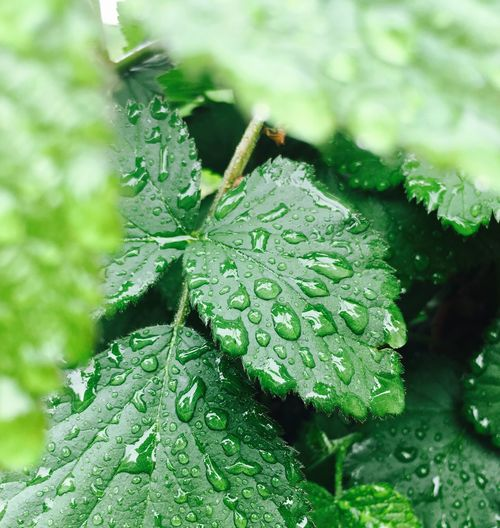 Leaf Green Color Drop Water Wet Nature Close-up Growth Beauty In Nature Day No People Outdoors Plant RainDrop Freshness Fragility Animal Themes Blackberry Bush Close Up Blackberry Bush