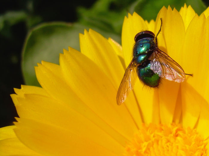 Animal Wildlife Beauty In Nature BlueBottle Close-up Flower Flower Head Fly Greenbottle Insect Macro Nature Perching Petal Summer Colours Yellow Yellow And Green