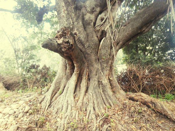 Peepal Tree Tree Tree Trunk Nature Day No People Outdoors