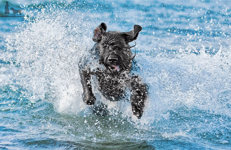 Animal Baltic Sea Dog Domestic Animals No People Ocean One Animal Outdoors Pets Power In Nature Riesenschnauzer Schnauzer Sea Sea And Dog Water Fresh On Market 2016