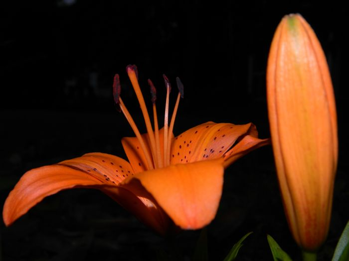 Orange spotted Lily next to pod Black Background Blooming Botany Close-up Flower Flower Head Image Of Light And Shadow Lily Nature Night Orange Color Outdoors Petal Photo Of Picture Of Plant Plus Pod Selective Focus Spotted Stamen Tight Shot Of Up Close