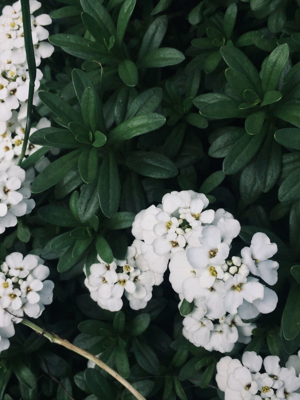 plant, flowering plant, flower, growth, beauty in nature, vulnerability, freshness, fragility, plant part, leaf, white color, nature, petal, day, close-up, inflorescence, no people, green color, flower head, botany, outdoors, springtime, bunch of flowers