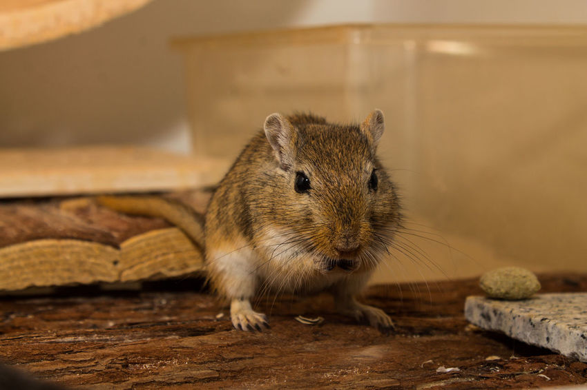 Acariciar Animal Themes Animales Animals Domestic Animals Focus On Foreground Haustier Maus Mouse Nager One Animal Ratón Rennmaus Tiere Zoology