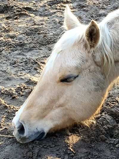 Dirt Blond Palomino Trust Mother Nature Earth Sleeping Horse Horses Domestic Animals Animal Themes White Color One Animal Outdoors Day Sand No People Nature Close-up Mammal