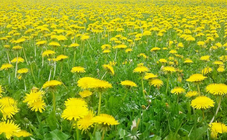 Yellow Flowers Green Color Weeds Are Beautiful Too Dandelion Field Wyoming Sea Of Flowers Spring Wildflowers