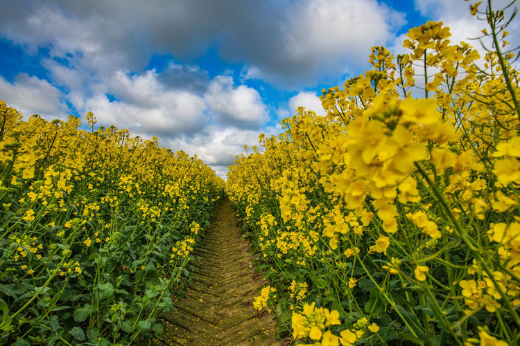 Stay Out Yellow Beauty In Nature Flower Head No People Sky Cloud - Sky Springtime Germany Rapeseed Field RapeFlowers Oilseed Rape Trail Tractor Tracks Track Ziseetheworld Tranquility Landscape Rural Scene Fragility Agriculture Freshness Flowering Plant Scenics - Nature