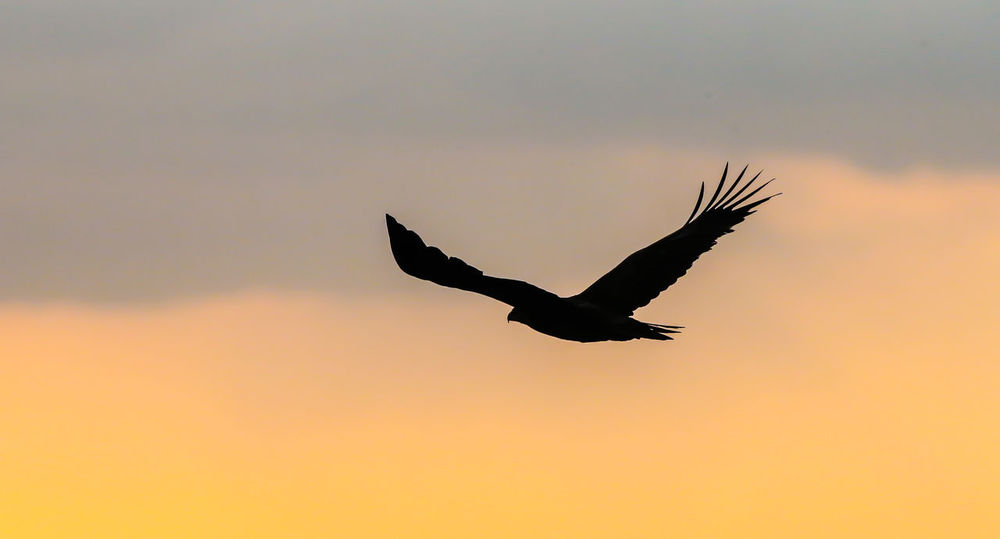 Eagle in flight against a sunset Eagle In Flight Animal Themes Animal Wildlife Animals In The Wild Beauty In Nature Bird Bird Of Prey Birds Of Prey In Wild Cloud - Sky Day Flying Low Angle View Mid-air Motion Nature No People One Animal Outdoors Silhouette Sky Spread Wings Sunset
