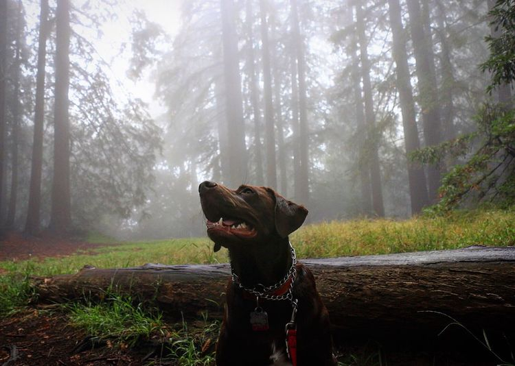 Chocolate Labrador In Forest During Foggy Weather