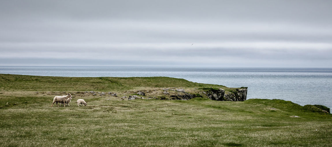 Cliff Iceland Iceland_collection Ingolfshöfdi Lamb Lambs Landscape Landscape_Collection Landscape_photography Landscapes With WhiteWall Sheep