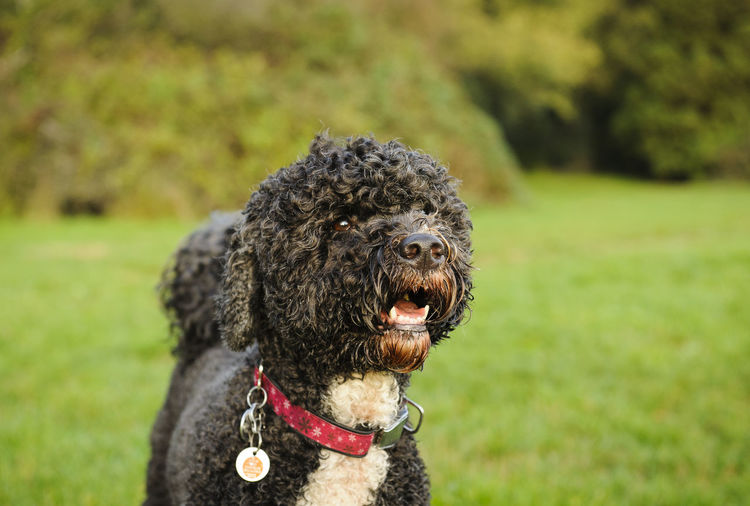 Portuguese Water Dog Animal Themes Day Dog Domestic Animals Grass Mammal No People One Animal Outdoors Pets Portugese Water Dog Portuguese Water Dog Water Dog