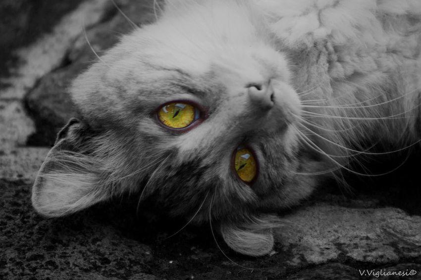 Animal Eye Cat Cats Domestic Animals Domestic Cat Feline Gatita  Gato Gatos Grises Pets Portrait Relaxing