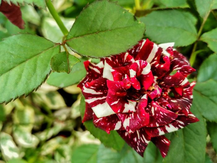 Plant Red Flower Beauty In Nature Flowering Plant Freshness Plant Part Leaf Growth Close-up Petal Vulnerability  Fragility Nature Focus On Foreground Flower Head Inflorescence Day Green Color No People Outdoors