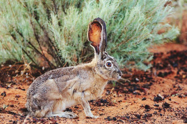 Jackrabbit ears Desert Life Jackrabbit Mammal Beauty In Nature Bunny Ears  Bunny  Bunny Rabbit Animals In The Wild Animal Wildlife Animal Themes Desert Southern Utah  Animal Utah Nature Outdoors No People Animals In The Wild One Animal