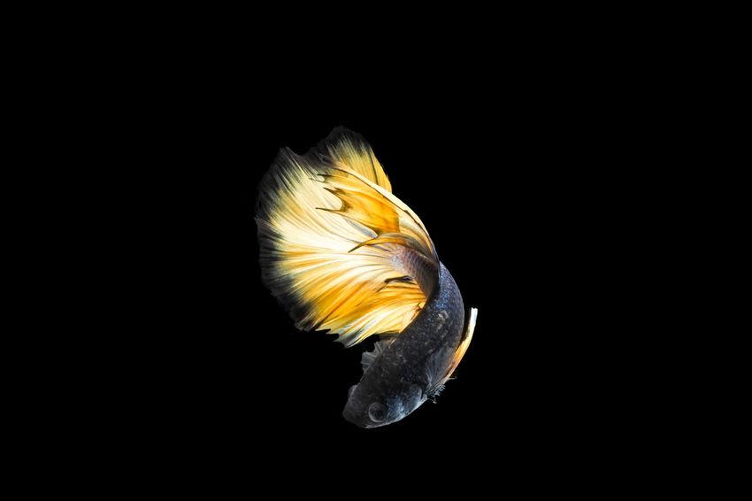 Siamese Fighting Fish Animal Themes Animals In The Wild Aquarium Life Betta  Betta Fish Bettafish Close-up Fighting Fish Fish Focus On Foreground Fresh Water Fish Half Moon Fish Halfmoon Betta Nature Negative Space No People One Animal Siamese Fighting Fish