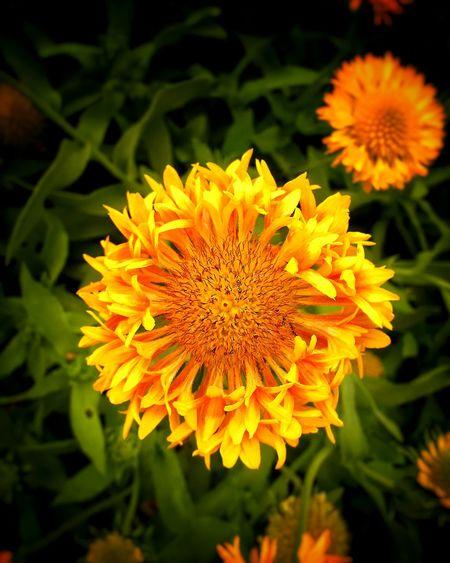 Yellow Flower Yellow Yellow Flowers Flower Flowers Garden Garden Photography Flora Nature Nature Photography Plants And Flowers Plants Flowers,Plants & Garden Flower Collection Flower Photography