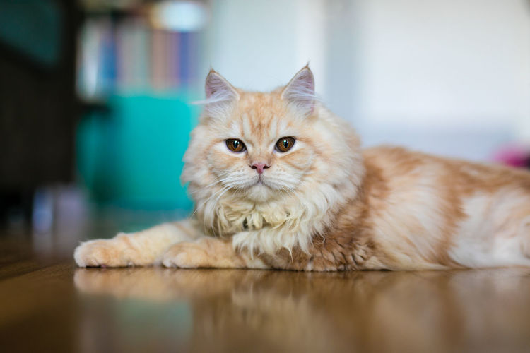 Adorable cute ginger doll face persian cat lying on the floor in home