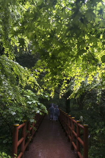 rainy day of Bijarim which is a famous forest in Jeju Island, South Korea Beauty In Nature Bijarim Day Forest Full Length Green Color Growth JEJU ISLAND  Maple Nature One Person Outdoors Pathway People Rainy Real People Rear View The Way Forward Tree Walking Women