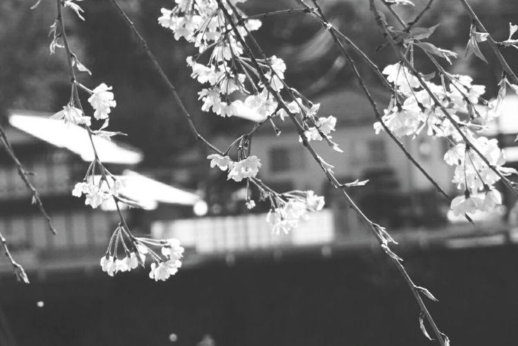 桜の季節 くしゃくしゃな君の 楽しそうな笑顔も 悔しそうなその泣き顔も 大切に胸にしまっておくから ずっと 桜の季節 お別れだね… Nature Beauty In Nature Completion Of A Course