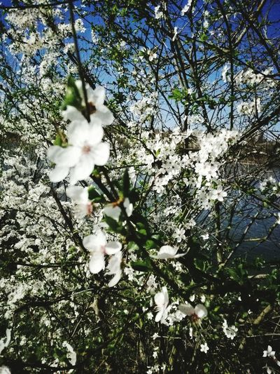 Tree Beauty In Nature Nature Blossom Cerisier Loire Valley Blois Branch Flower Head Outdoors Sky Springtime Flower