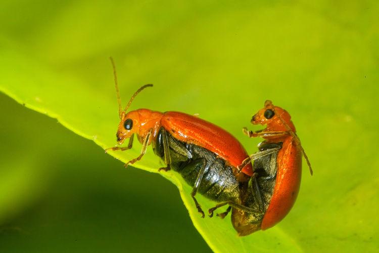 黃守瓜之愛 Leaf Red