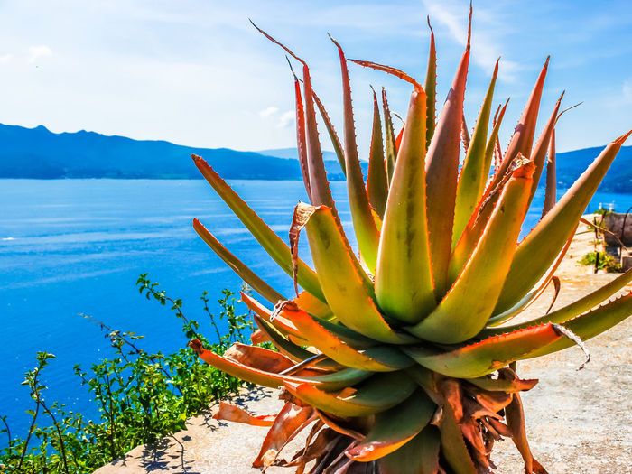 Elba Island Beautiful Seascape Scenarios, Italy Aloe Vera Plant Beauty In Nature Cactus Close-up Cloud - Sky Day Flower Flowering Plant Focus On Foreground Green Color Growth Land Nature No People Outdoors Plant Scenics - Nature Sky Succulent Plant Tranquil Scene Tranquility Water