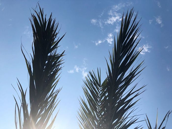 Palm Sky Plant