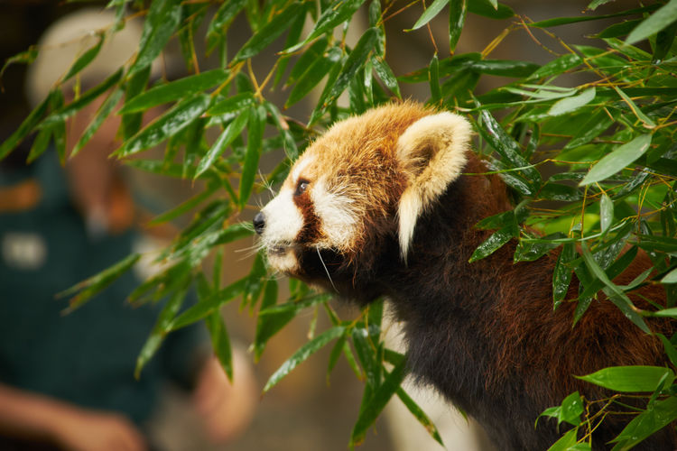 Animal Animal Body Part Animal Head  Animal Love Animal Photography Animal Themes Animal_collection Animals Close-up Lesser Panda Nature No People Outdoors Part Of Plant Pretty