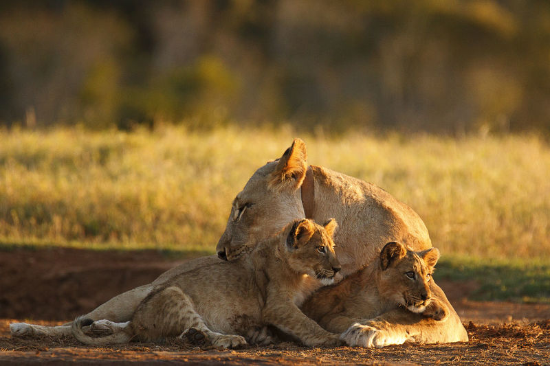 Lioness with cubs Animal Themes Animal Wildlife Animals In The Wild Day Field Grass Lion - Feline Lion Cub Mammal Nature No People Outdoors Togetherness Young Animal